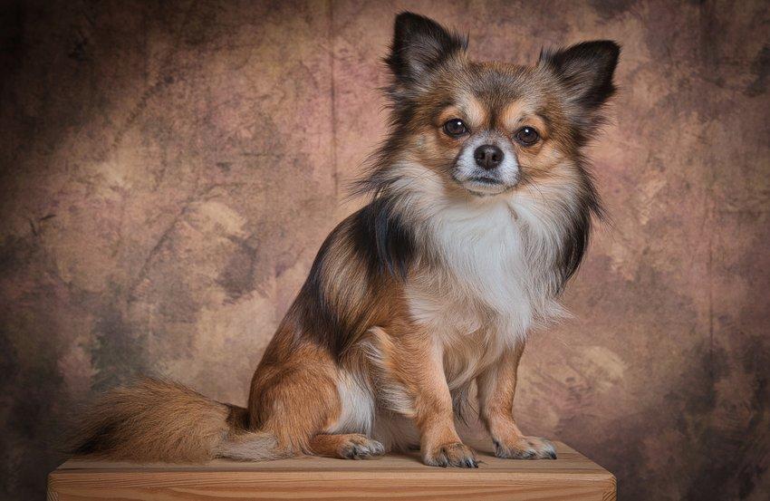 čivava-skvelý pes do bytu